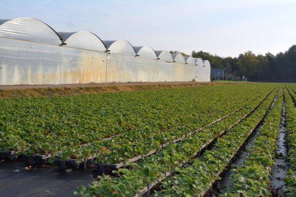 Traypflanzen in den Niederlanden   Foto: Heike Sommerkamp