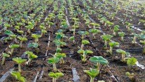 Anbau von Erdbeerpflanzen