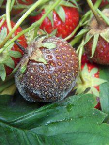 Botrytisbefall bei Erdbeeren.  Foto: Sandra Nitsch, LWK NRW