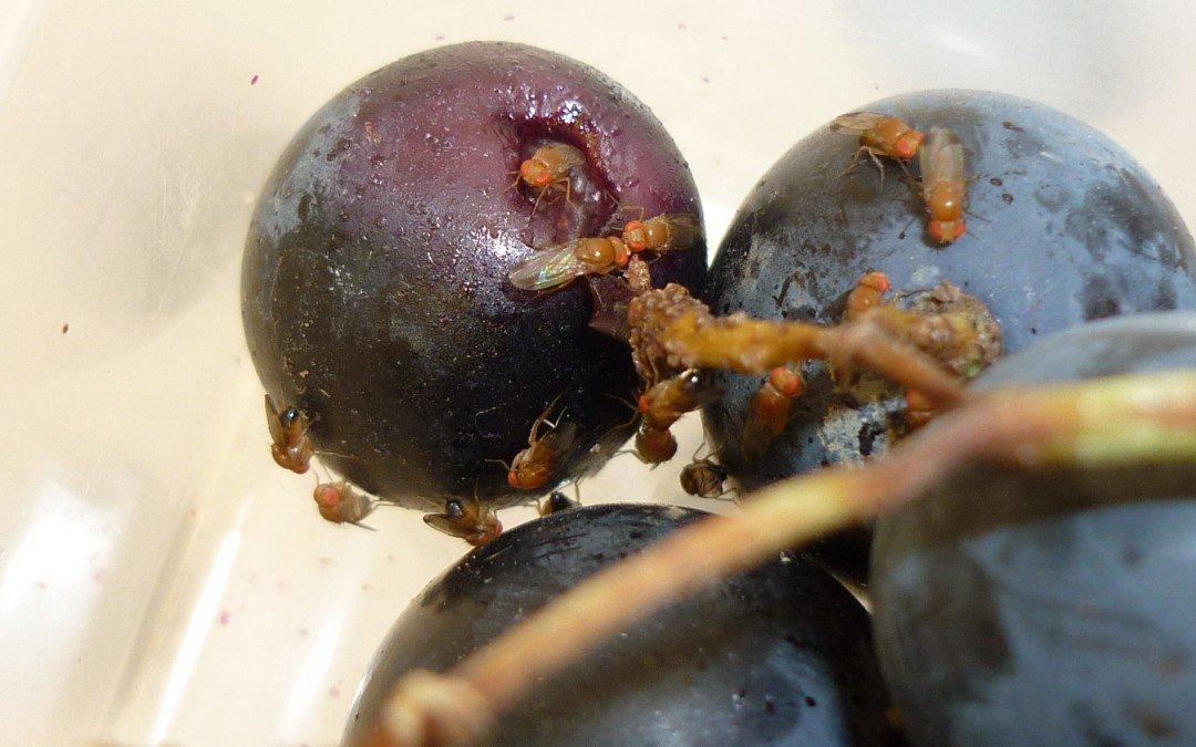 Versuche zur Bekämpfung von Drosophila suzukii