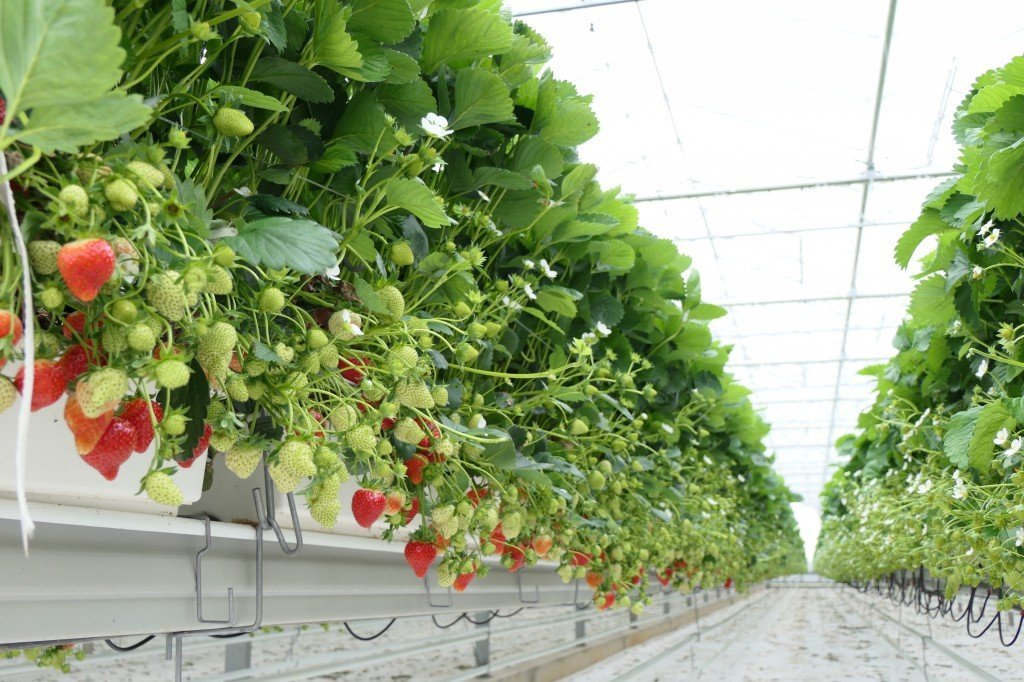Erdbeeren im Glashaus