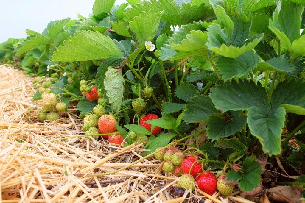 Erdbeeren Freiland