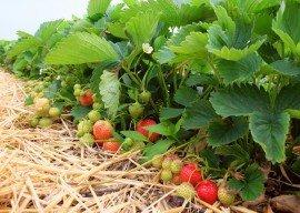 Pressemitteilung des BLE: Beliebtes Obst in Deutschland – Erdbeeren auf Platz fünf