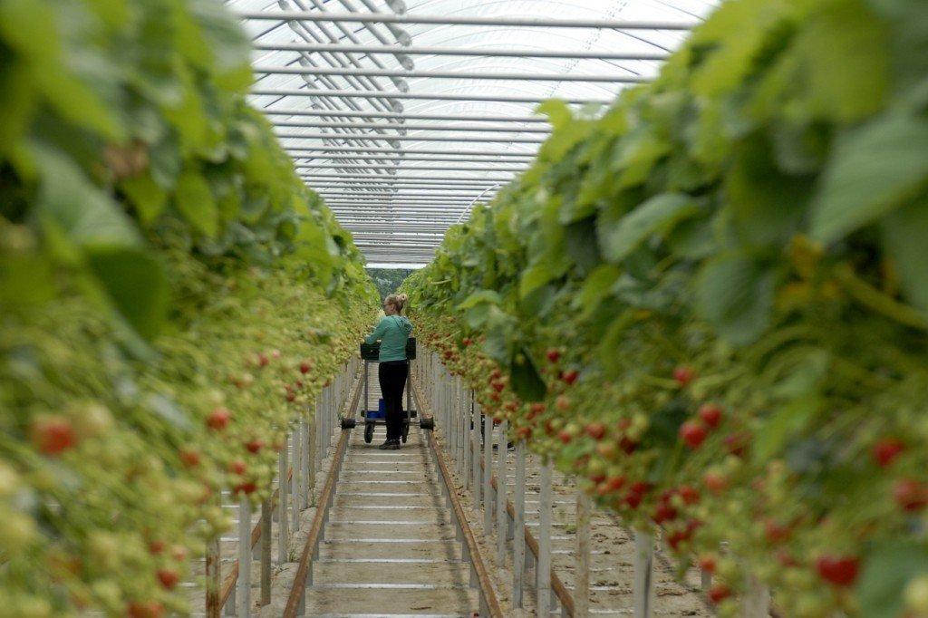 Erdbeerkulturen im Folientunnel.