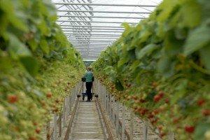 Hof Osterloh, Erdbeerkulturen im Tunnel,   Foto: Heike Sommerkamp