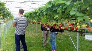 Sortenversuch bei Verkuijlen Groente & Fruit, hier Joly (PVR)