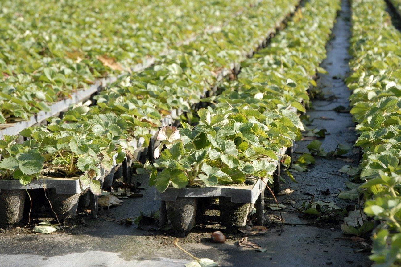 Erdbeerpflanzen mit Ausläufern. Foto: Heike Sommerkamp