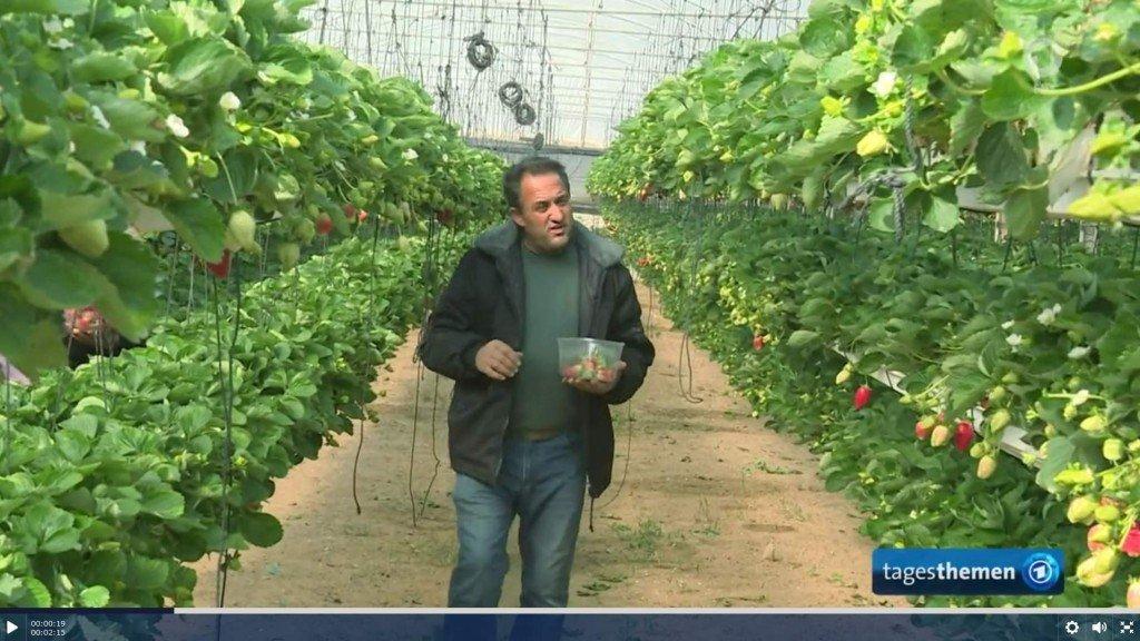 Erdbeeranbau im Gazastreifen, Foto: Tagesschau