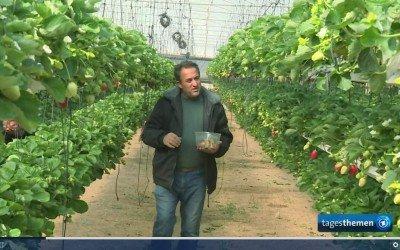 Erdbeeranbau unter erschwerten Bedingungen