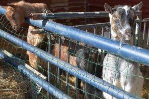Warten auf Abwechslung: Ziegen im Winterquartier    Foto: Heike Sommerkamp