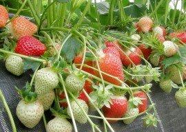 Ansatz für Zucht von Erdbeersorten mit verringertem Allergiepotential