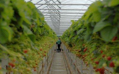 Immer weniger Freiland-Erdbeeren in Niedersachsen