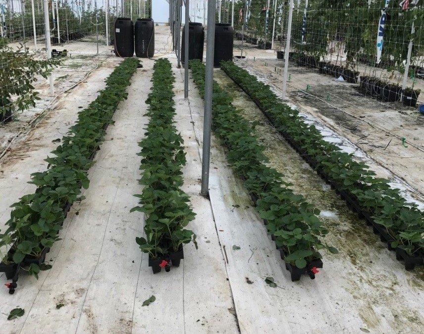 Neue Studie zur Steigerung der Erträge bei Erdbeeren
