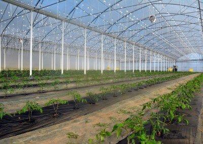 Erdbeer-Projekt in der Krise: Joris-Gewächshäuser melden Insolvenz an