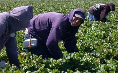Saisonarbeit Teil 6: Flüchtlinge als Arbeitskräfte