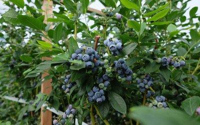 Superfrucht Heidelbeere
