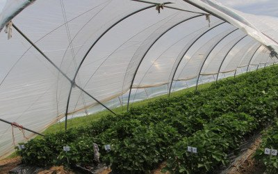 Erdbeeren: Anbau unter Schutzabdeckung nimmt zu